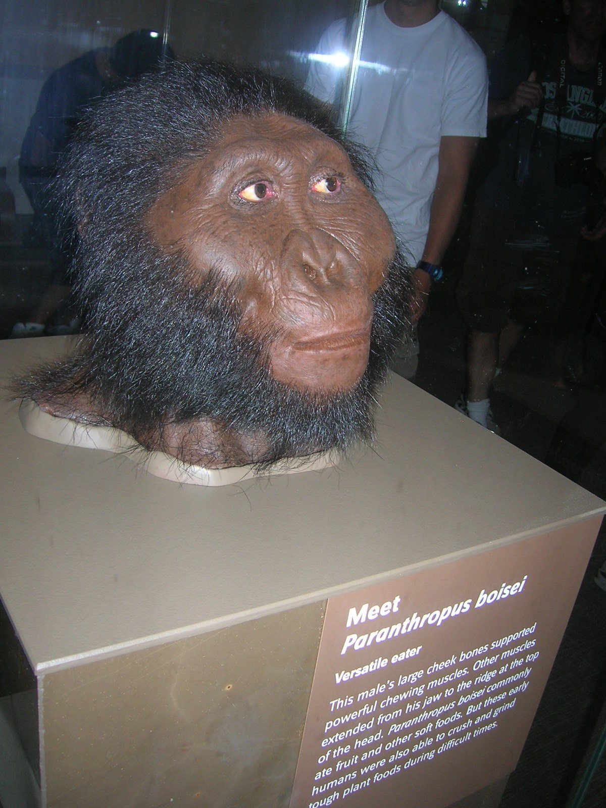 Paranthropus boisei (skull pictured in first photo in post)
