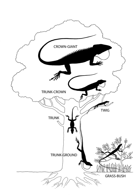 Anole ecomorphs, showing characteristic size, station, and morphology; each of these has evolved tow or more times independently in the Greater Antilles. From Losos, 2009, based on E.E. Williams