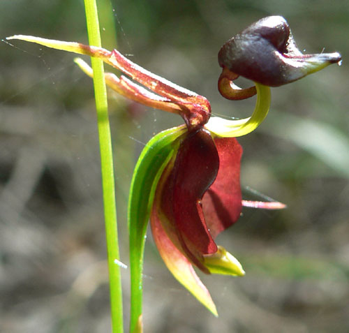 From Friends of the Cove National Park, Inc: http://www.friendsoflanecovenationalpark.org.au/Flowering/Flowers/Caleana_major.htm