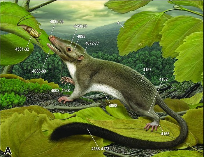 Hypothetical early placental mammal (O'Leary et al., 2013).