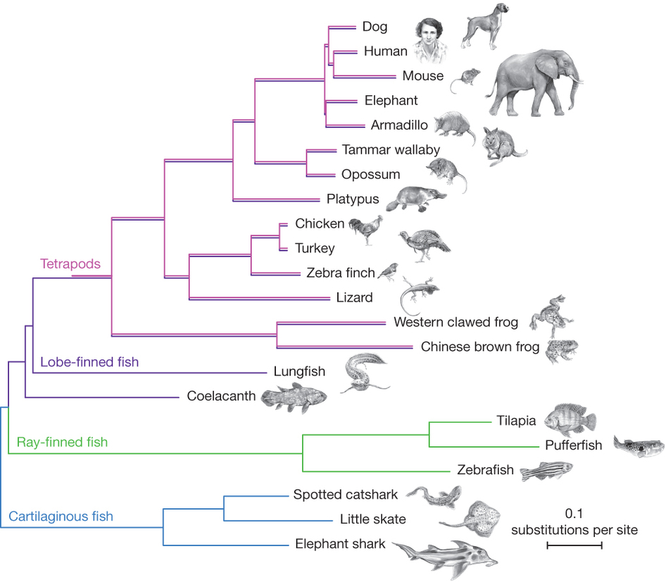Phylogenetic tree using coelacanth genomic data (Fig. 1 from Amemiya etal. 2013).