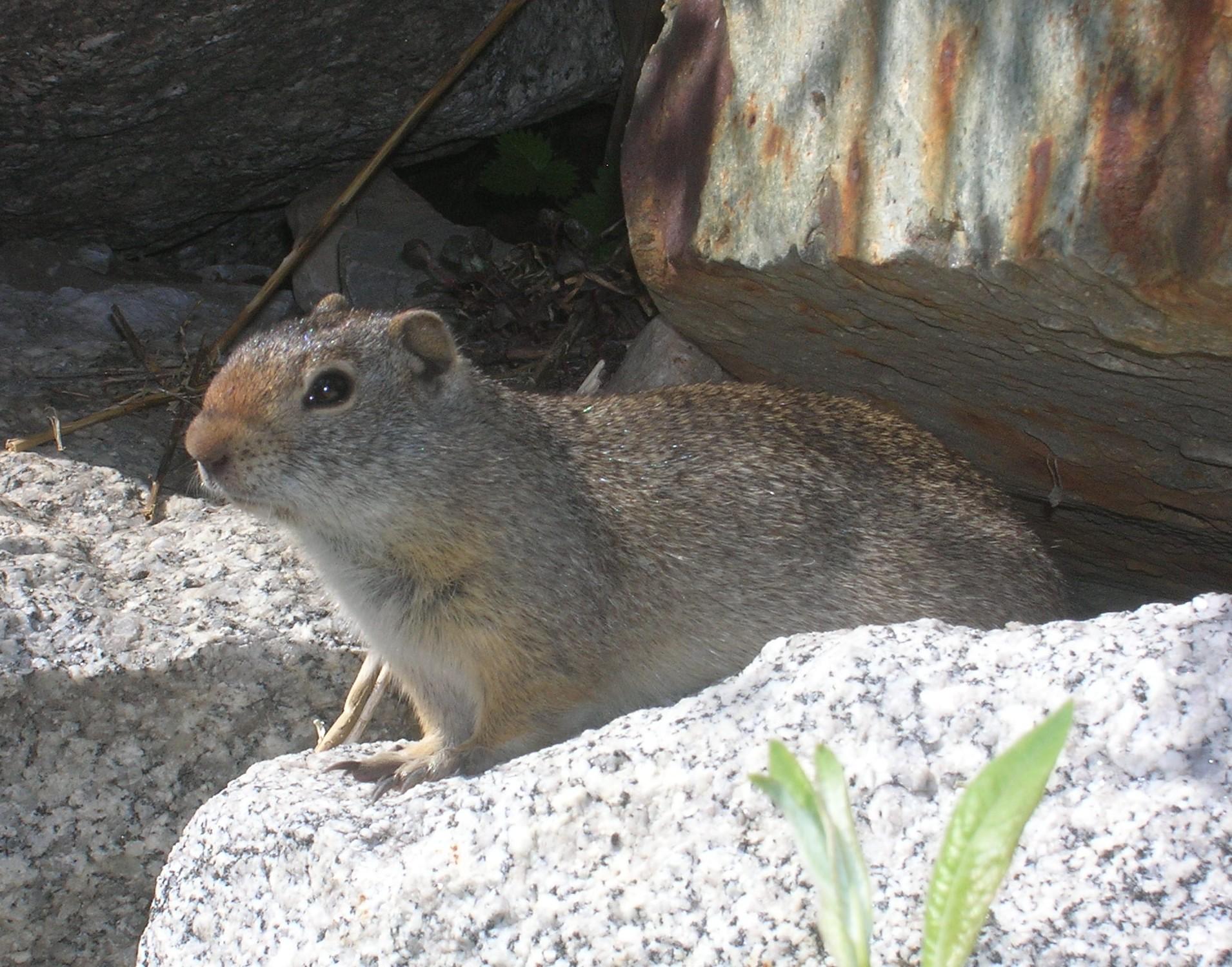 Uinta ground squirrel (Spermophilus armatus), Snowbird, Utah, June 2013.