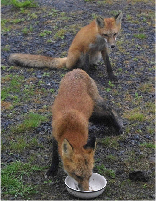 FOXES (cubs?)