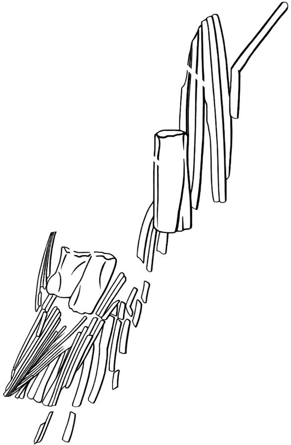 Hind limb of Tiktaalik from Shubin et al. 2014. The thin rays are lepidotrichia; the upper rectangular bone is the intermedium, the lower pair are radials.