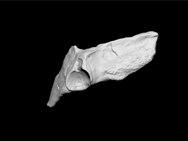 Tiktaalik pelvis from below: ilium on left, the rounded acetabulum for reception of the head of the femur, pubis on right.  The pubis is directed laterally.