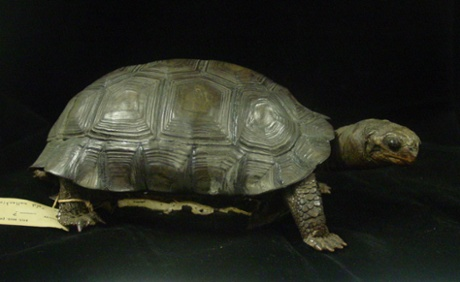 A Galapagos tortoise from James (Santiago) Island, once owned by Charles Darwin. BM(NH) 1874.6.1.6, formerly 37.8.13.1.