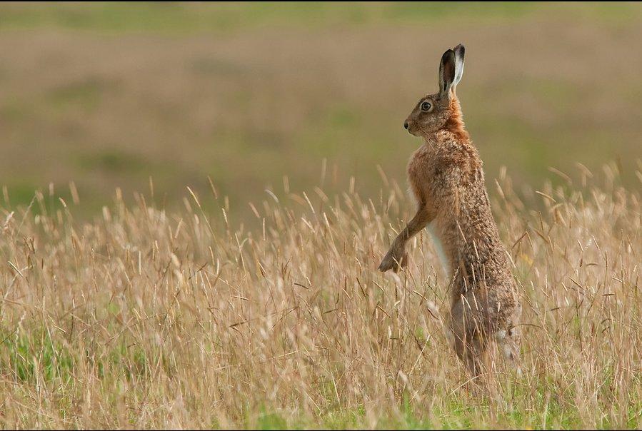 Brown hare by Stuart Scott.