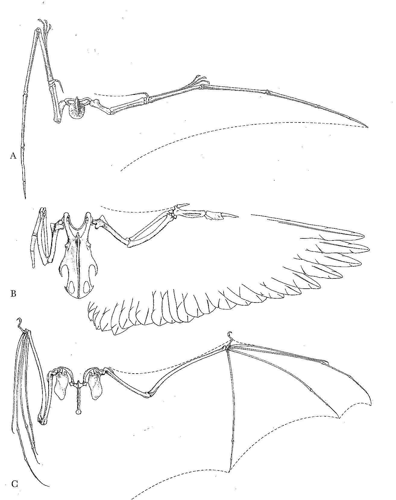 Pterosaur (A), bird (B), and bat (C) wings. Gatesy & Middleton, 2007.