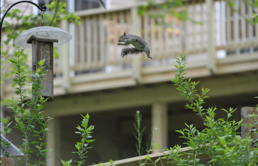 """'Flying Squirrel' Photographer Yvonne Landis wrote, """"This squirrel was taking a flying leap from a nearby fence post to get to the woodpecker feeder. He had made two previous attempts, giving me time to grab my camera. He did stick the landing on this jump."""""""