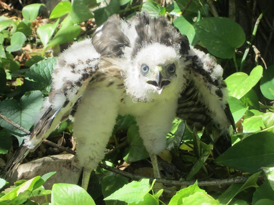 Defiant baby hawk, Fort Myers, Fla., May 2014.