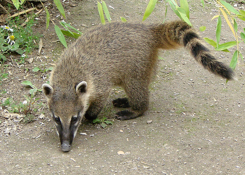A coati, not a member of the Tubulidentata (by Vassil, from Wikipedia;))