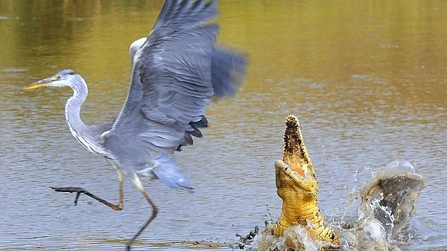 Nile crocodile jumping for grey heron. Photo from Adelaide Advertiser.