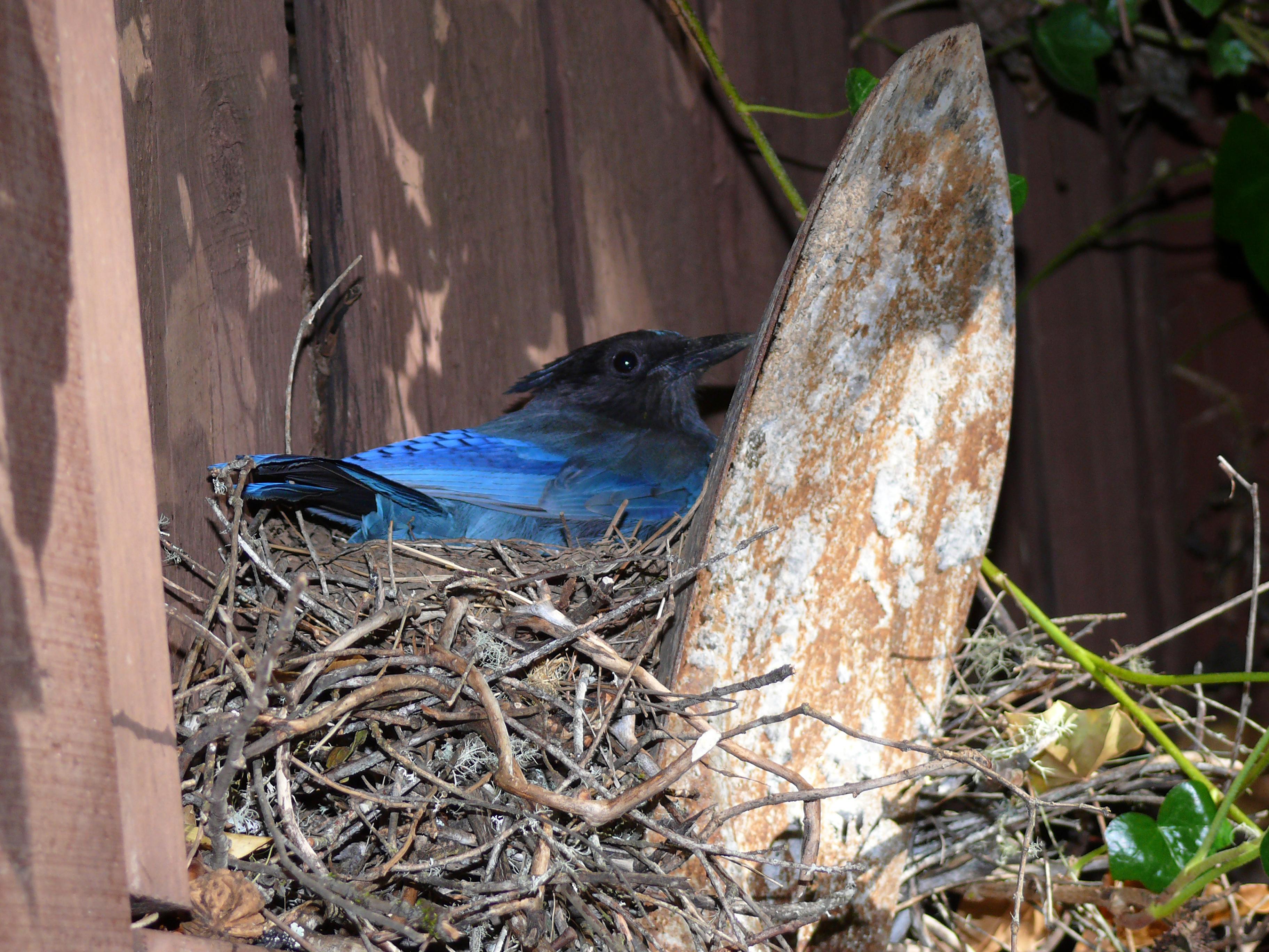 5. Steller's Jay on Nest--6-9-14