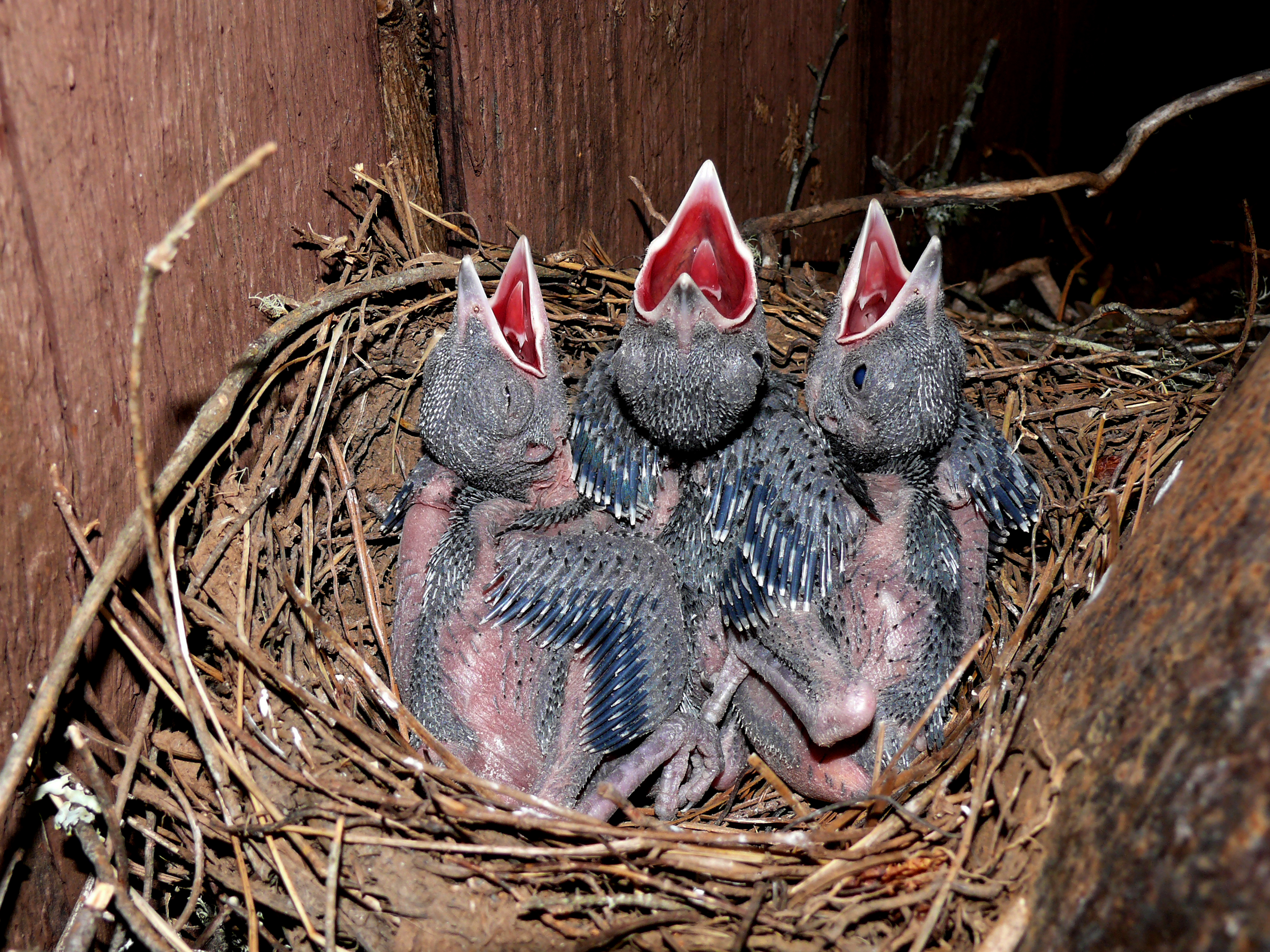 6. Steller Nestlings--6-10-14