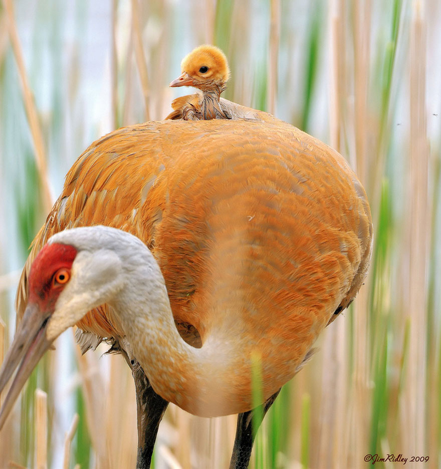 animal-parents-20