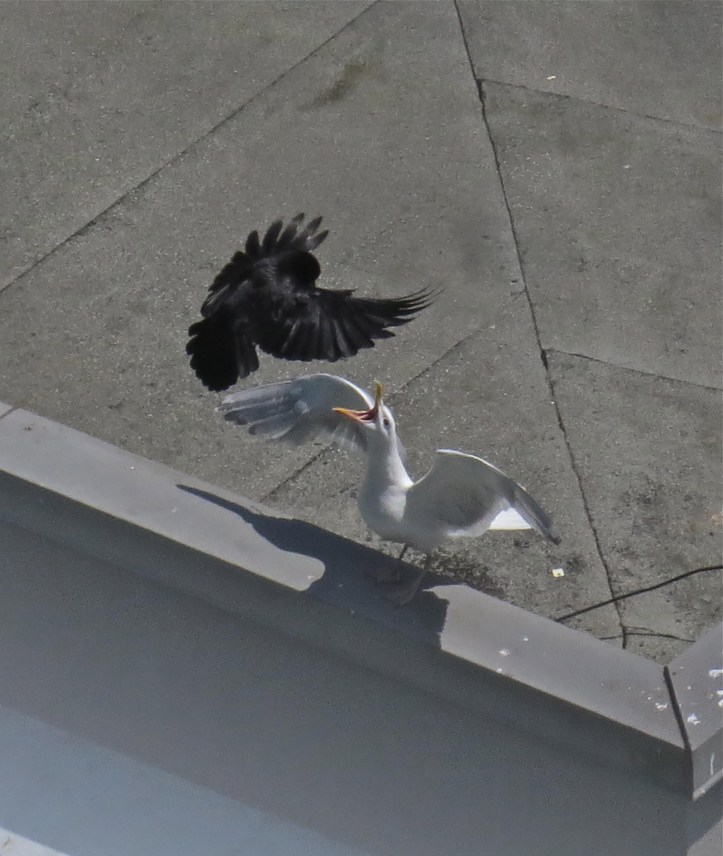 GW Gull vs NW Crow