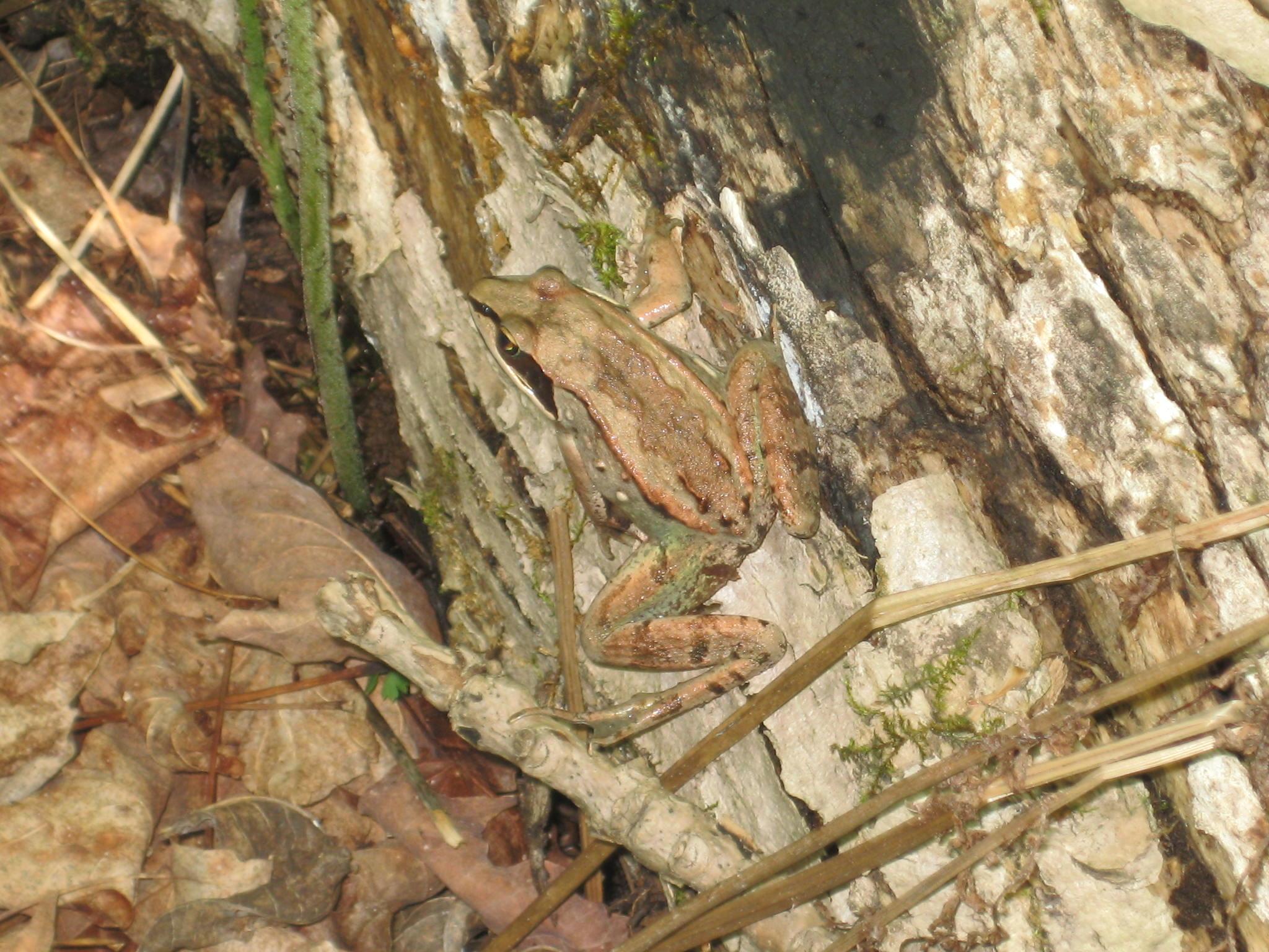 Wood frog, near Lake Superior, Minnesota, 6 June 2014.
