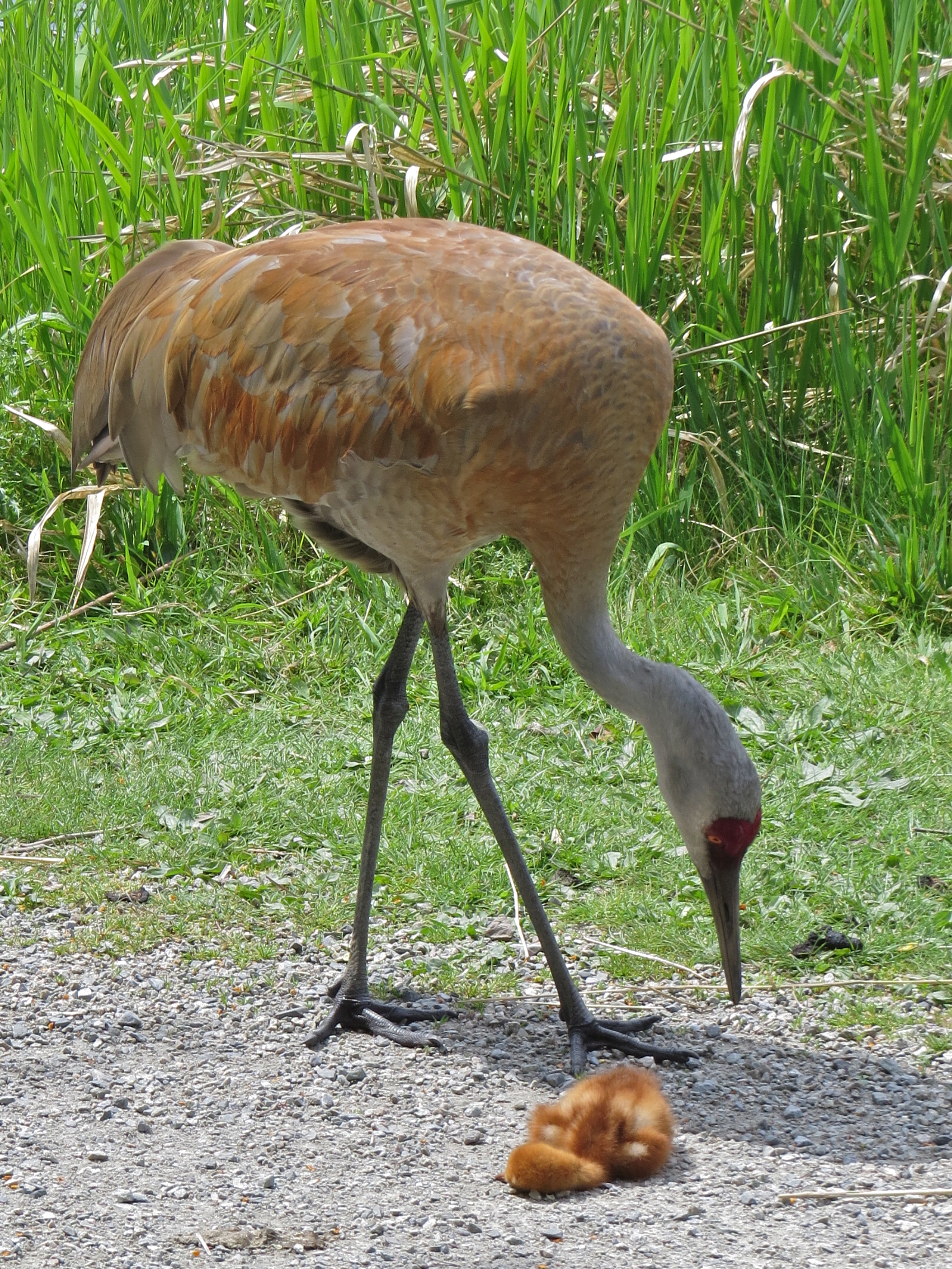 Sandhill Crane Chick Passed Out