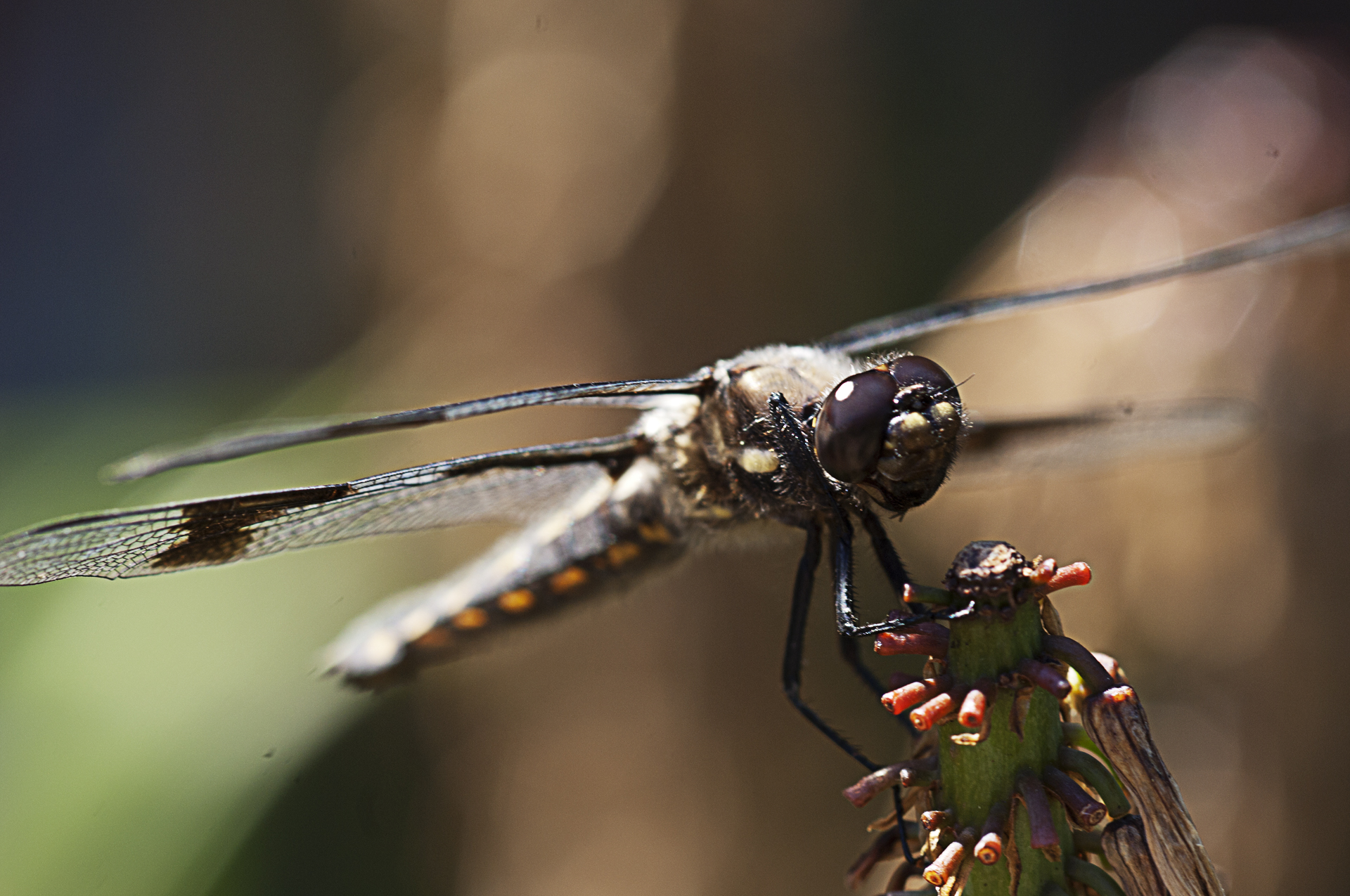 8 spotted skimmer front