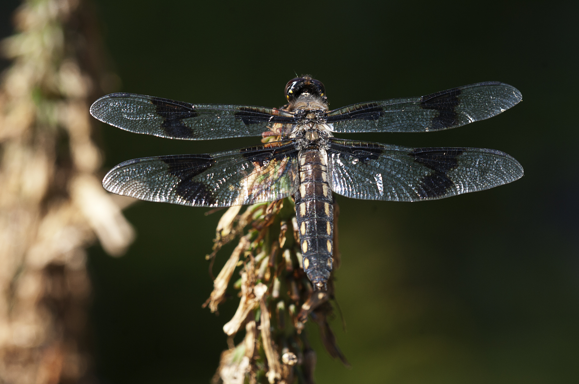 8 spotted skimmer