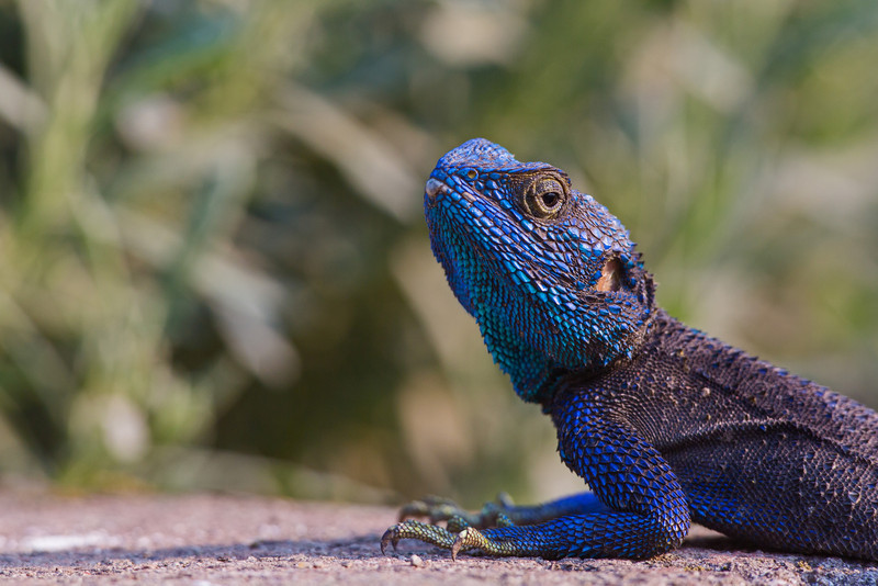 blue-headed tree agama staring at photographer-L
