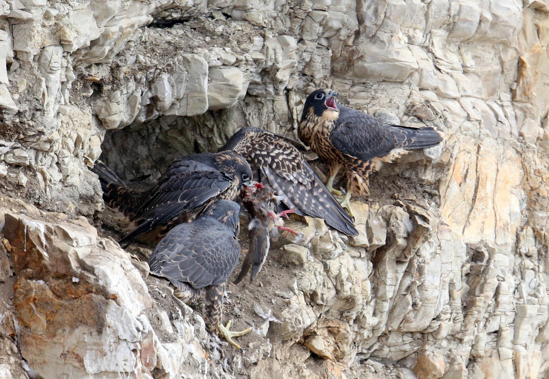 Chicks squabbling
