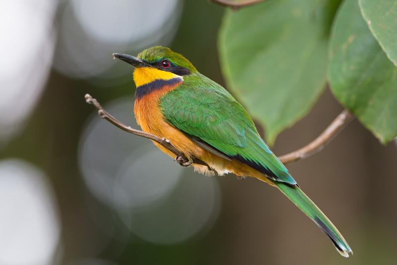 cinnamon-chested bee-eater Ndali-L