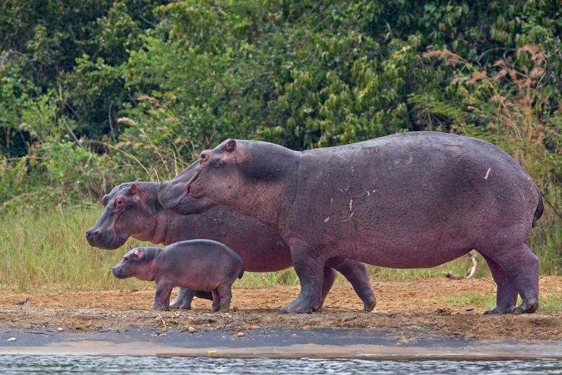 happy hippo family-L