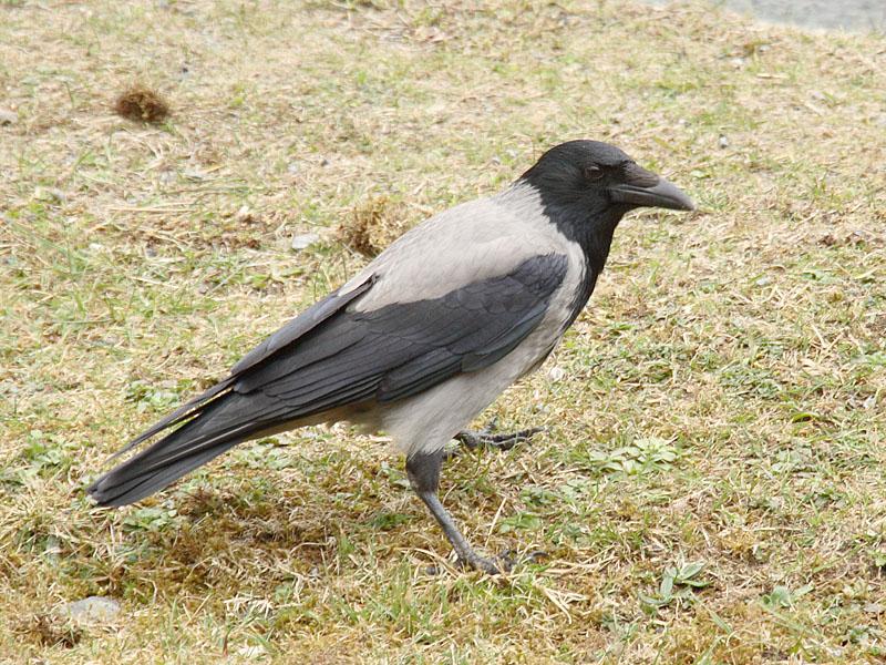 Hooded Crow ok