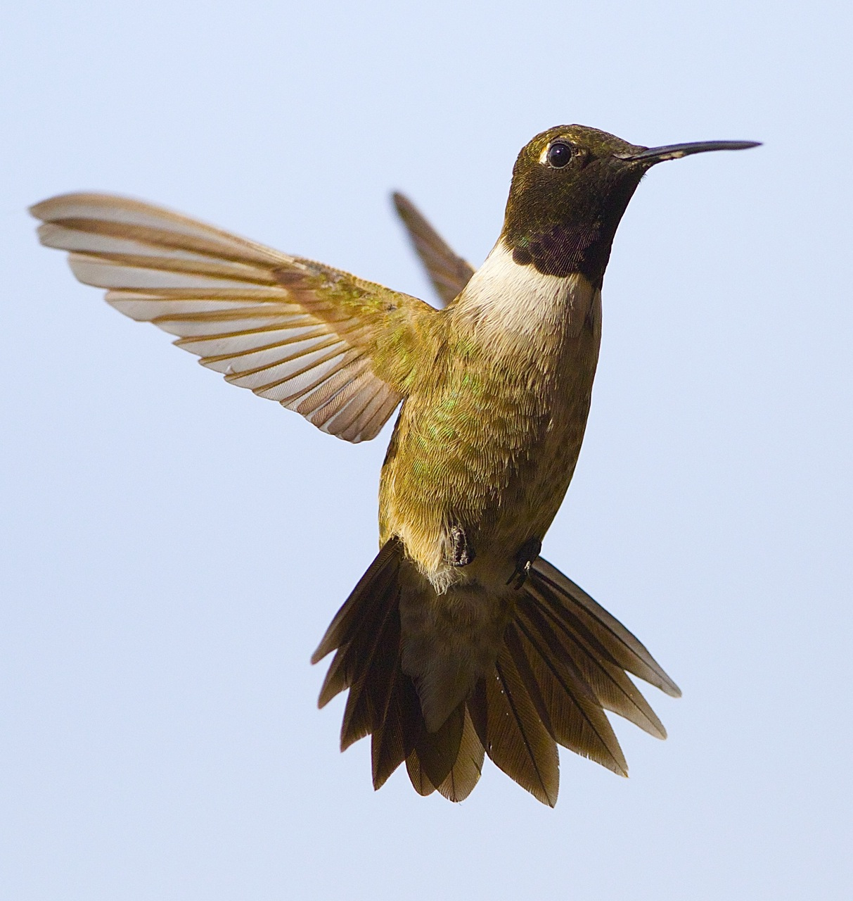Male black chinned