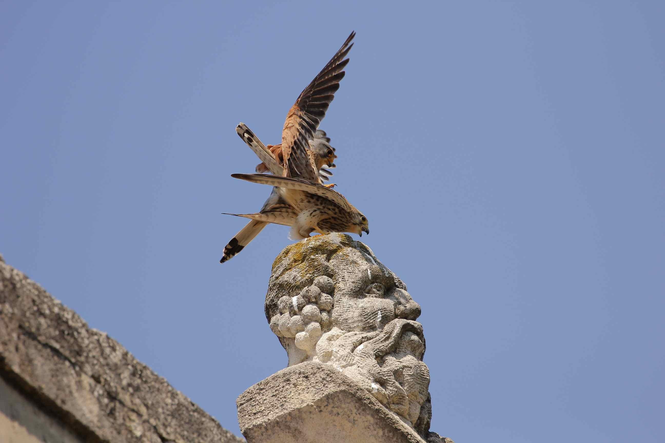 Mating falcons