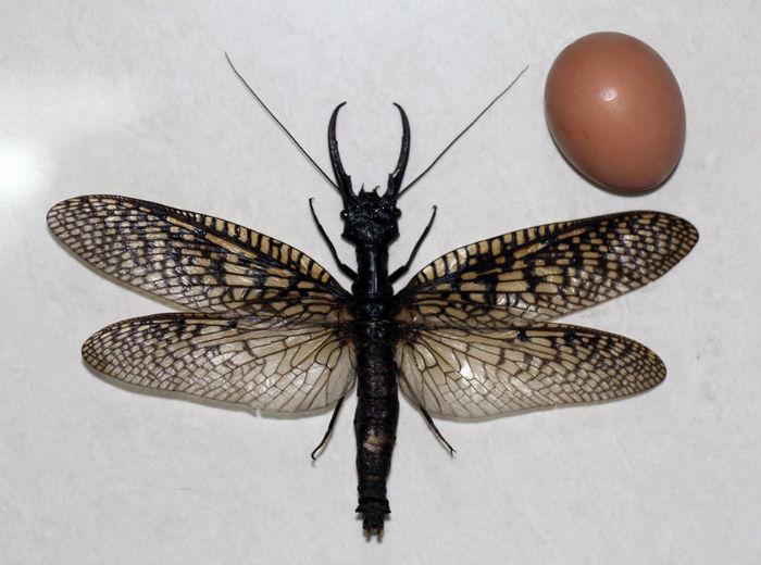 megaloptera-egg