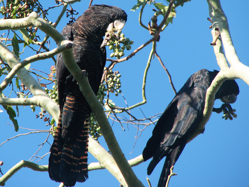 Red_tailed_Black_Cockatoo