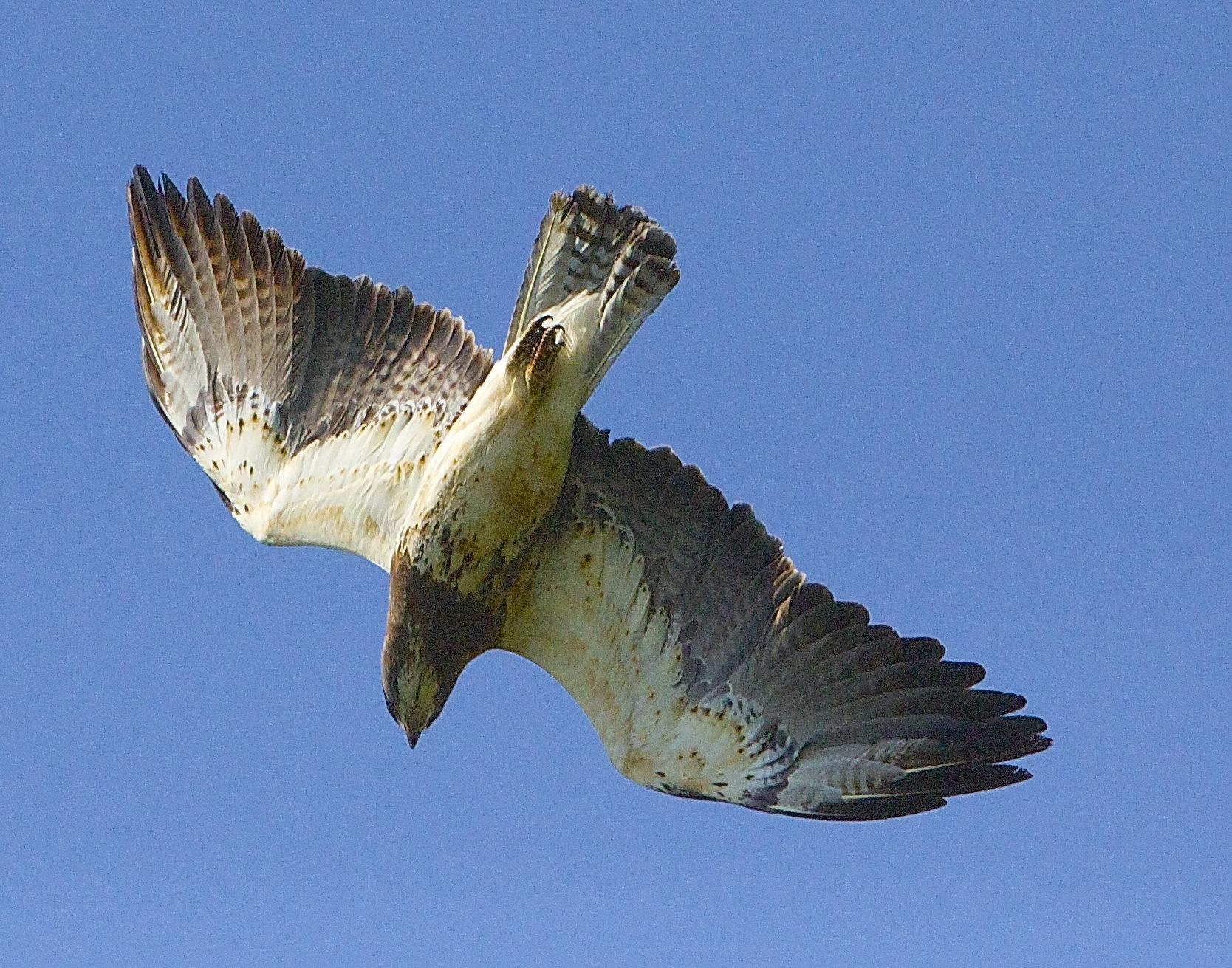 Swainson's hawk starting dive