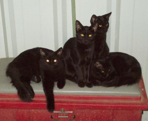 4_black_cats