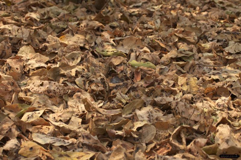 ced7c171fa-images-Nightjars-Nightjar in Leaves