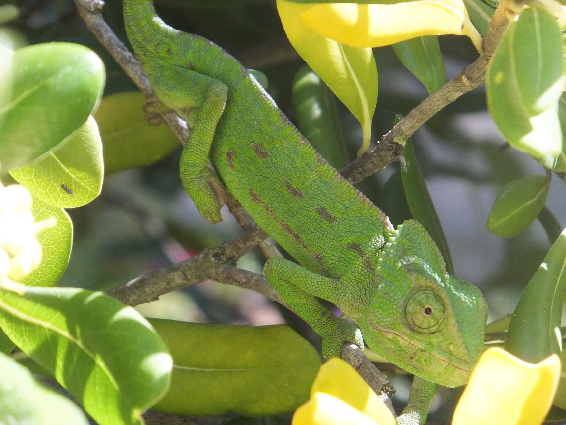Chameleon 1 compressed