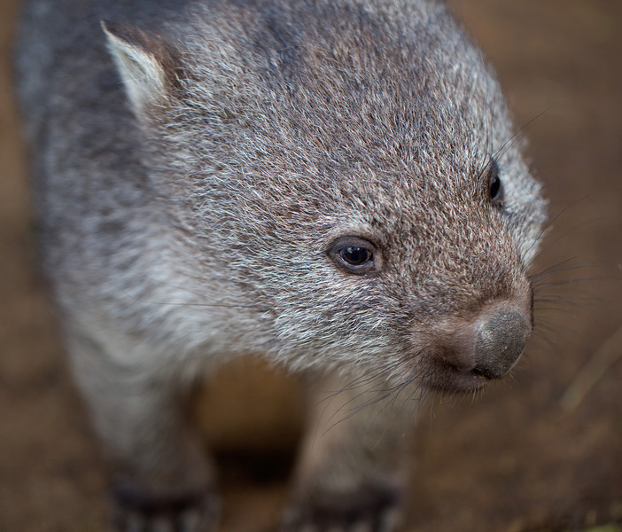 face of a baby wombat-L