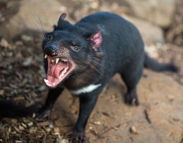 jaws of a Tasmanian devil-L