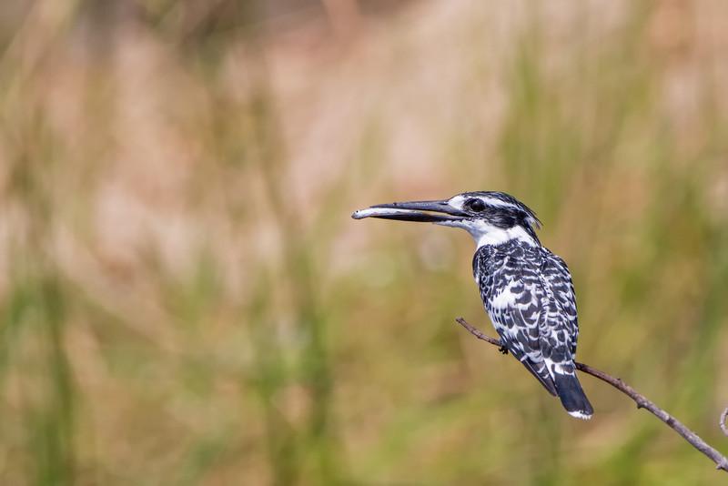 kingfisher pied w fish-L
