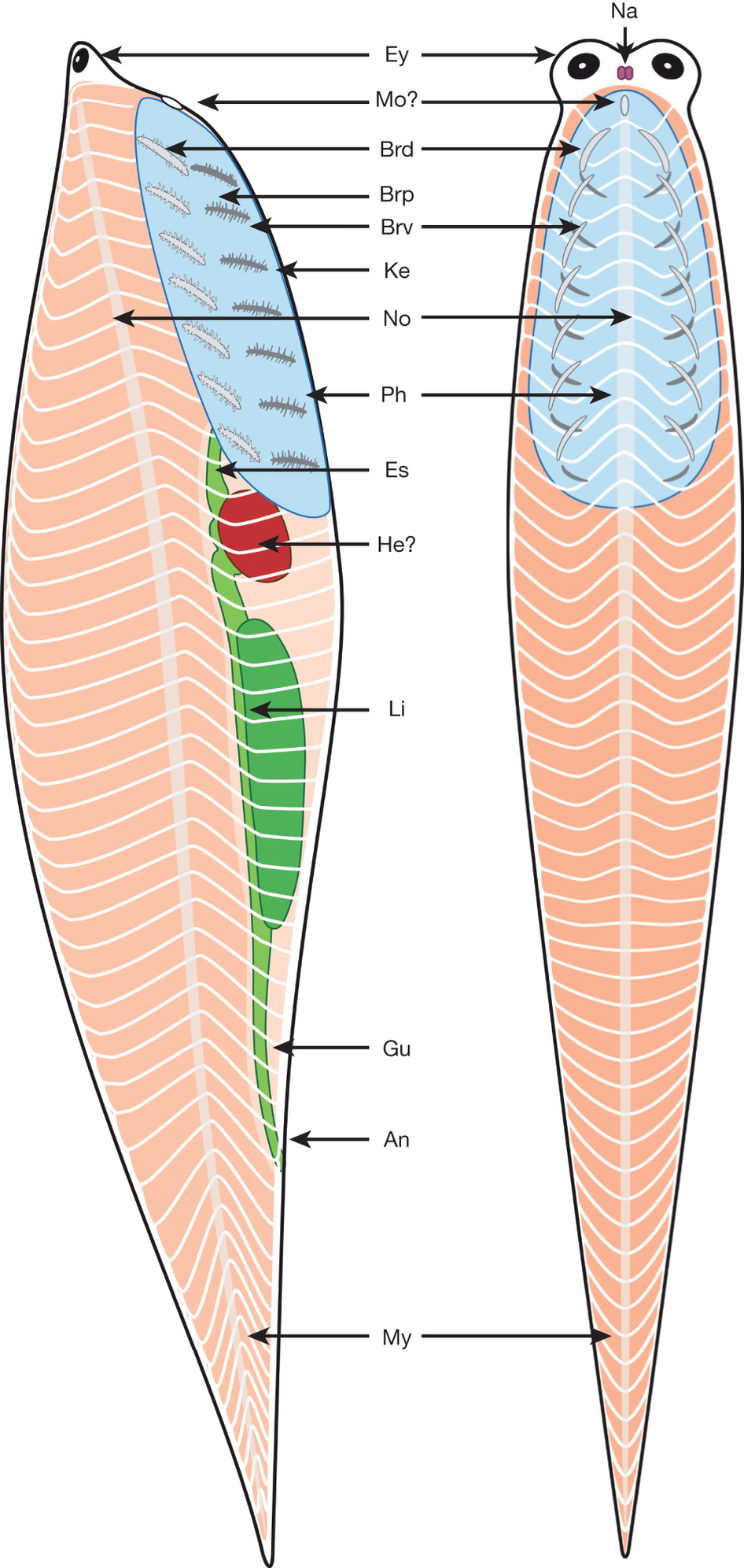 An, anus; Brv, branchial bars (ventral element); Brd, branchial bars (dorsal element); Brp, branchial bar processes; Es, oesophagus; Ey, eyes; Gu, gut; He?, possible heart; Li, liver; Mo?, possible position of mouth; My, myomere; Na, nasal sacs; No, notochord; Ph, pharyngeal area . (From Fig. 2)