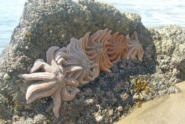 more starfish
