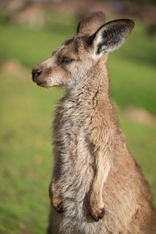 portrait of a forester kangaroo-XL