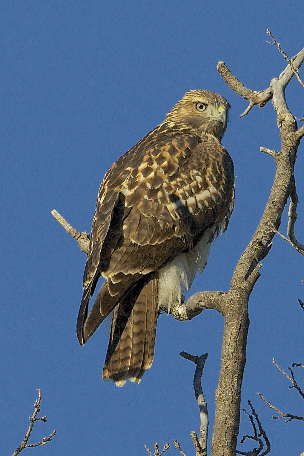 Red-tailed