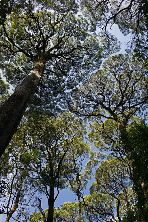 tree filligree Hogarth Park Strahan-XL