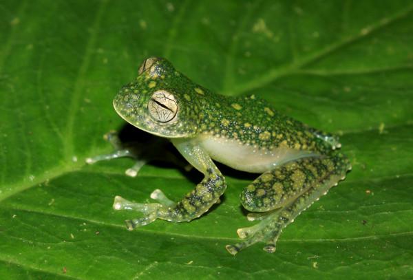 ww-transparent-frog-peru-01-600x407