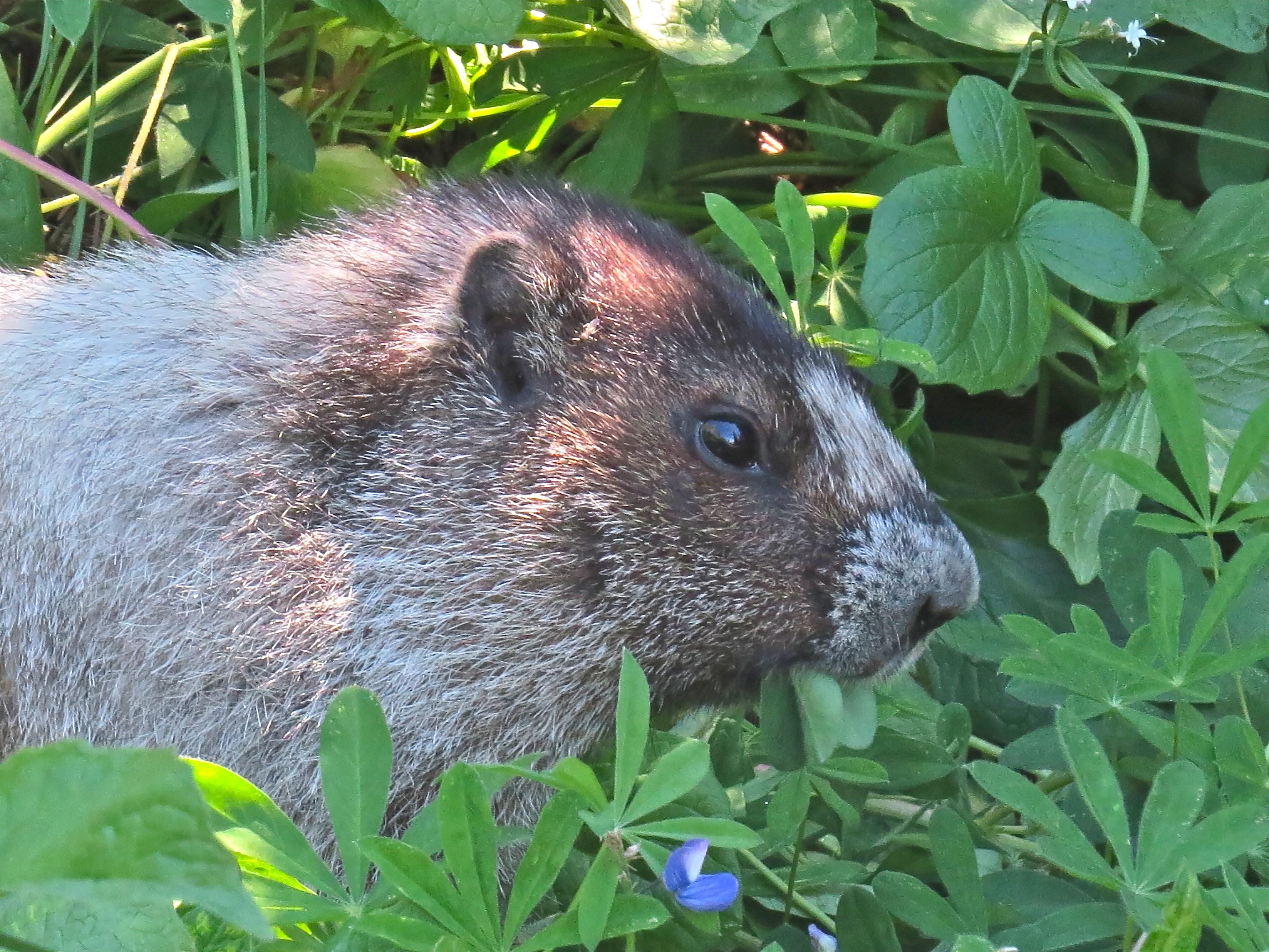 Hoary Marmot chomping