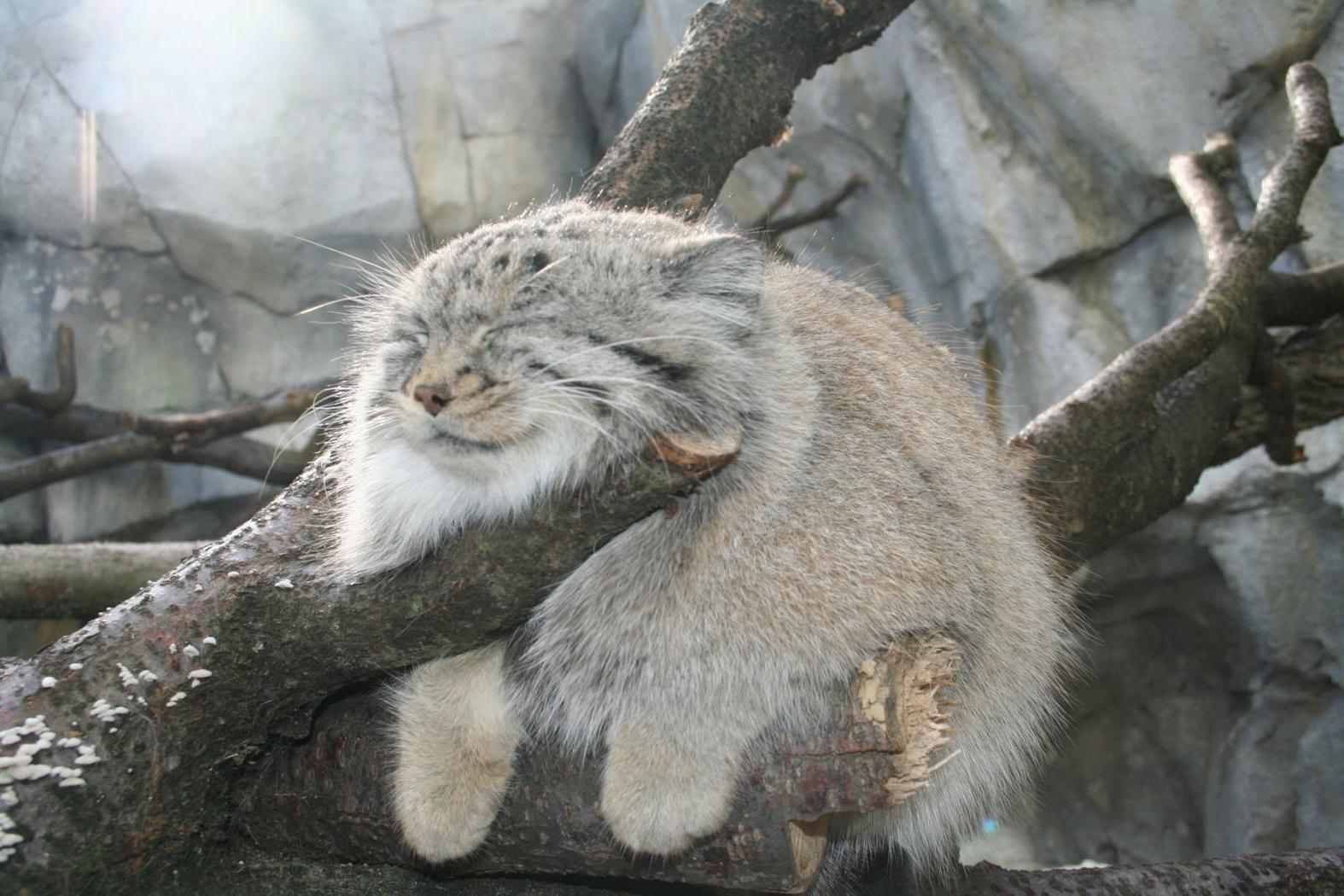 pallas-cat-domesticated-wallpaper-cat-domestication-traces-back-to-chinese-farmers-5300-years-ago-image