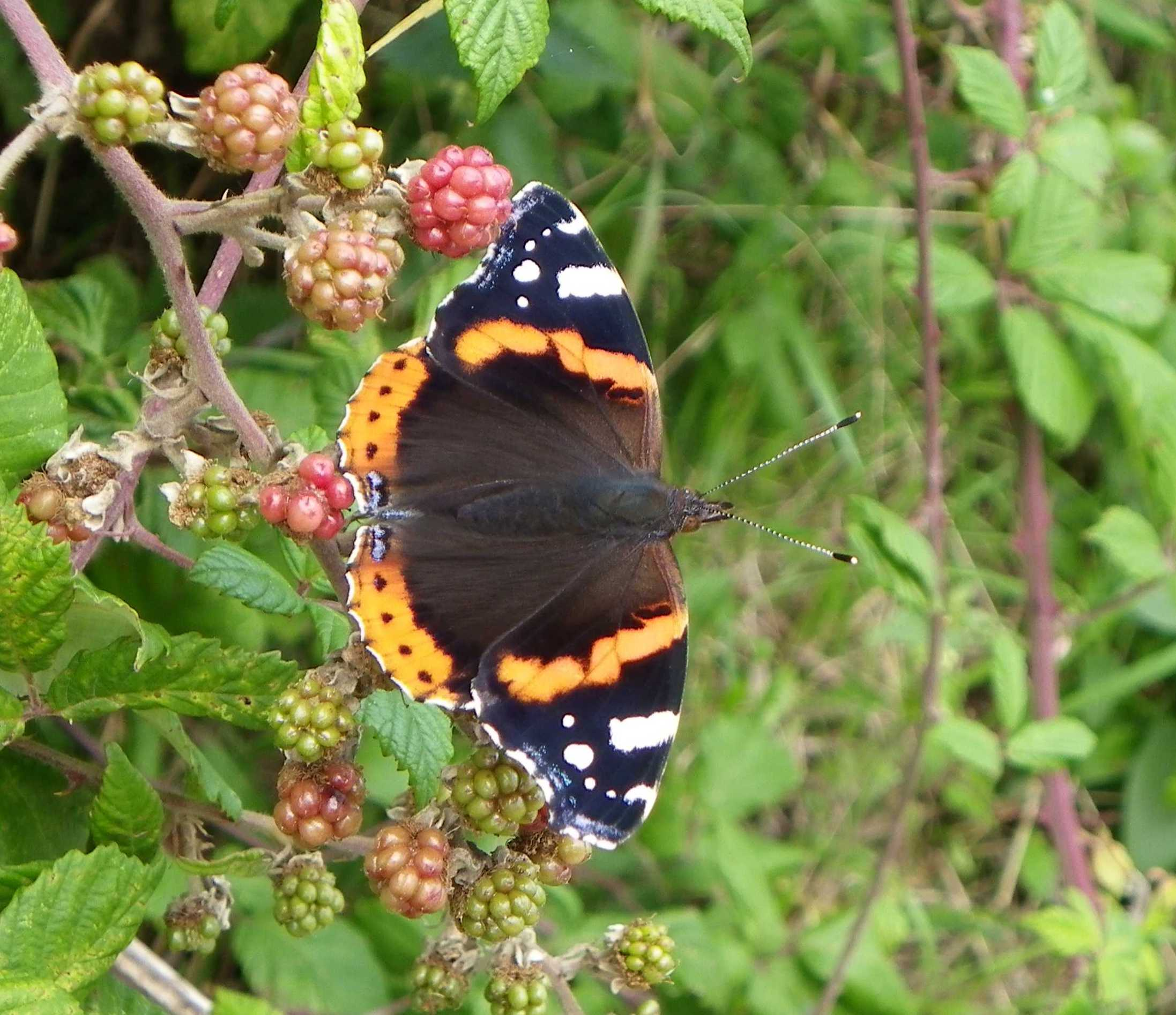 Red Admiral 4