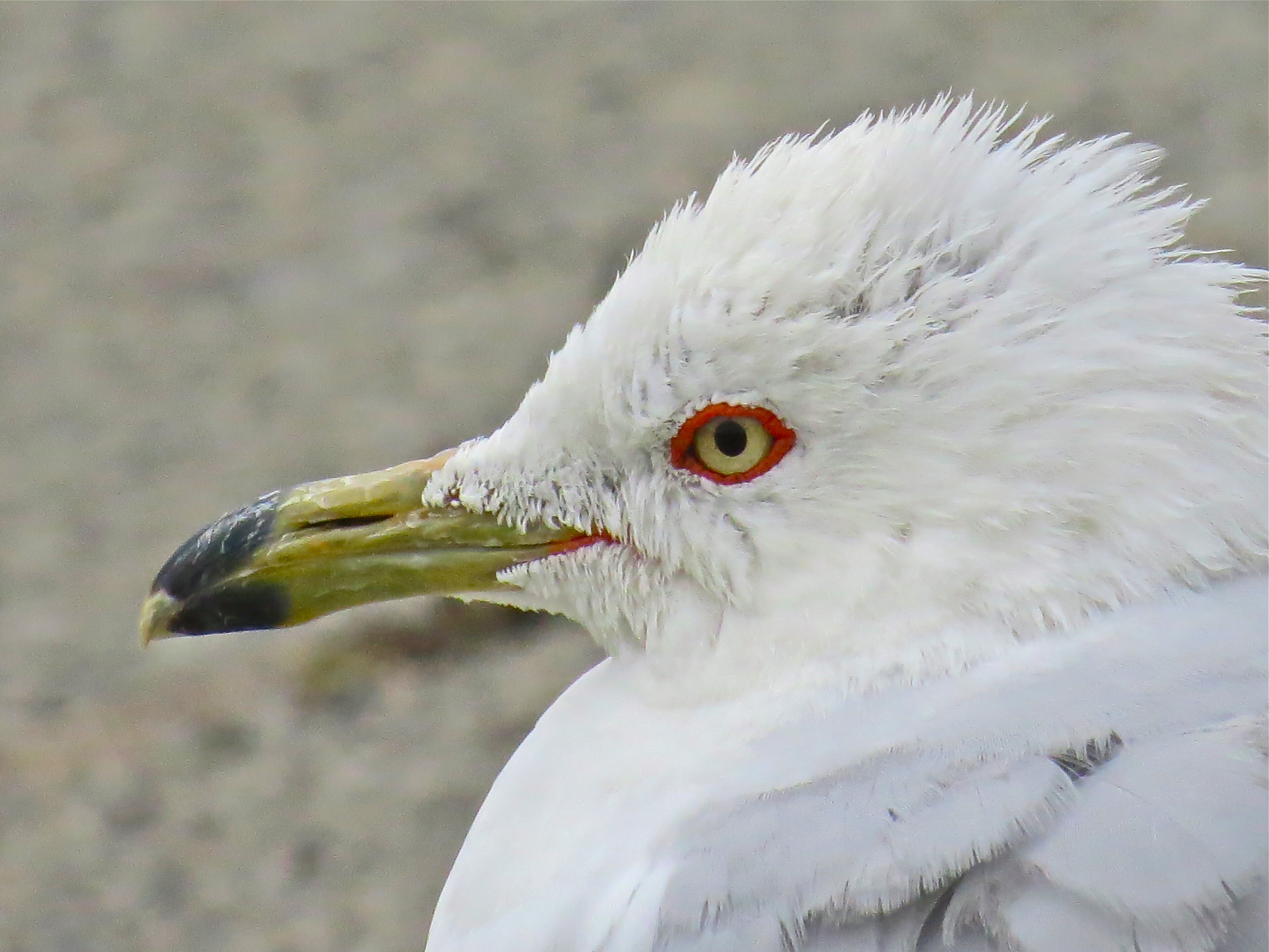 Ring-billed Gull adult in breeding colours